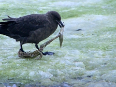 Skuas are scavengers and there is not much left of this gentoo penguin by the time this skua gets ahold of its carcass