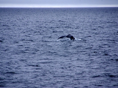 Humpback fluke in the distance; Gerlache Straits