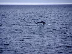 Humpback fluke in the distance; Gerlache Straits