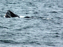 A humpback whale's rostrum and throat grooves are easily seen during this feeding in the Gerlache Straits