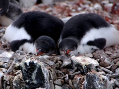Snoozing gentoo chicks; Jougla Point on Wiencke Island