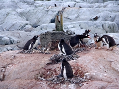 Gentoo penguins fighting over their turf; Petermann Island