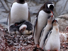 Gentoo chicks compete against each other in a race for survival. The parent will only feed one chick, maximizing its chances of survival, much to the peril of its neglected sibling