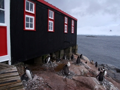 Port Lockroy's gentoo population live right up along the edges of the base's museum/post office