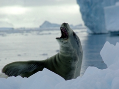 A lounging crabeater seal appears to laugh at our arrival; Neko Harbor