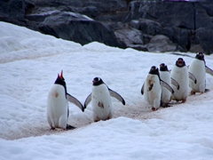 Comical gentoo penguins walking towards the sea. The lead gentoo is braying at the top of its lungs; Neko Harbor