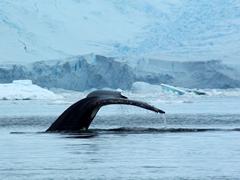 Magnificent humpback fluke in pristine Neko Harbor