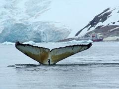 Final view of a barnacled humpback fluke in Neko Harbor