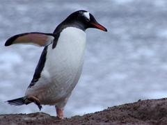 A gentoo penguin on Neko Harbor