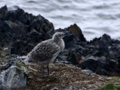 Kelp Gull chick on Hannah Point