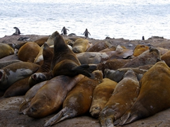 A large elephant seal wallow was absolutely rife with stink and loud farting noises from its restless inhabitants