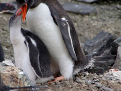Gentoo chick feeding of regurgitated krill