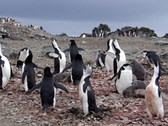 Chinstrap penguins braying in unison; Hannah Point