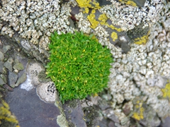 A view of pearlwort, one of two flowering plants found in the Antarctic reside only on Hannah Point