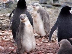 Chubby chinstrap penguins look around for a feeding opportunity