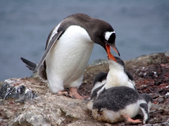 As is the case in virtually all penguin nests, one chick gets fed while the other is ignored by the parent, a cruel display of survival of the fittest