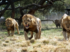 Lions rushing to get fed; Antelope Park in Gweru, Zimbabwe