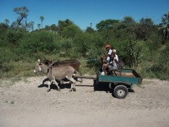 Donkey cart transportation is a reliable method in the Okavango Delta