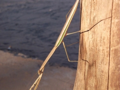 A large praying mantis; Thebe Safari Lodge in Chobe