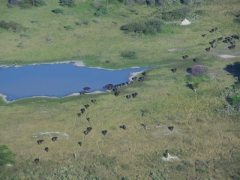Aerial view of a herd of water buffalo migrating across the Okavango Delta