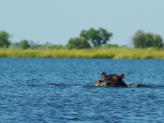 A hippo pops up to check our mokoro out (note: our guides told us that hippos can be quite aggressive and territorial so we quickly moved out of this area to prevent disturbing the hippo); Okavango Delta