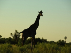 A giraffe checks us out as the sun sets; Okavango Delta