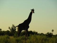 A giraffe checks us out as the sun sets; Okavango Delta