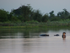 A pod of hippos; Okavango Delta (note: when a hippo opens its jaws wide, that is its first warning. It is showing you how large its teeth are and warning you not to come any closer)