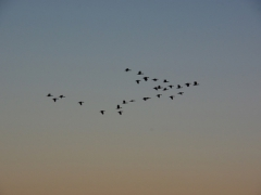 Birds in flight over the Okavango Delta