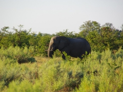 A bachelor elephant prefers the solitude of the Okavango Delta