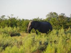 A bachelor elephant prefers the solitude of the Okavango Delta