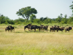 The wildebeest showdown