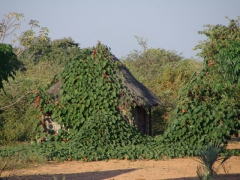 A vine covered hut; Mohembo bush camp