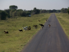 Goat crossing (we found we had to yield to lots of animals in Botswana, to include an elephant, stubborn donkeys and cows