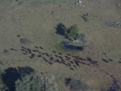 A migration of water buffalo; Okavango Delta
