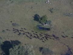 A migration of water buffalo; Okavango Delta