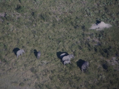 Elephants are quite plentiful in the Okavango Delta