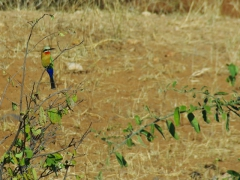 This colorful bird kept zipping along the waterfront of the Chobe River