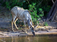 A greater kudu sips water from the Chobe River