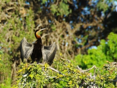A cormorant spreading its wings out to dry; Chobe River