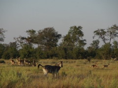 Early morning view of a zebra and antelope; Okavango Delta