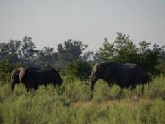 Two bachelor bull elephants keep each other company in the Okavango