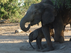 Portrait of a mother and baby elephant; Chobe riverbank