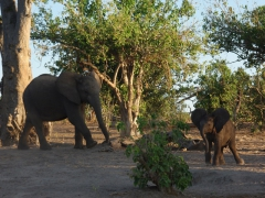 A baby elephant greets its sibling; edge of Chobe River