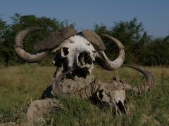 Close up of a water buffalo (the bigger one) and a wildebeest skull; Okavango