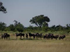 A herd of wildebeest stares edgily in our direction; Okavango