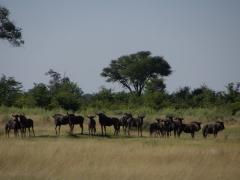 A herd of wildebeest stares edgily in our direction; Okavango