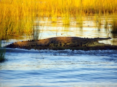 A crocodile catching the last rays of sun; Chobe River
