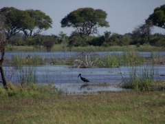 A water bird wades through the delta in search of food; Okavango