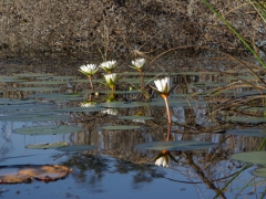 A mirror reflection of water lilies; Okavango Delta